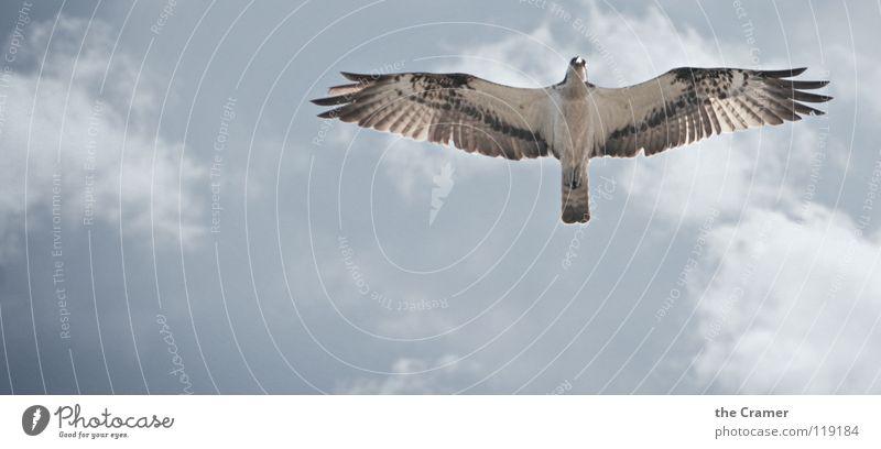 Osprey - Fischadler Himmel Tier Freiheit Vogel frei Wildtier Feder fliegend Greifvogel Adler erhaben Vogelflug Wappentier Vor hellem Hintergrund Fischadler