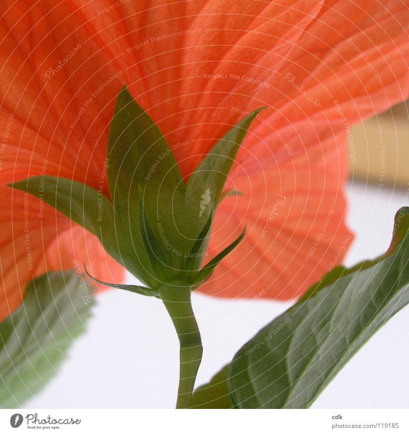 Hibiskus im Quadrat I schön Blume grün Pflanze rot Sommer Farbe Leben Blüte Frühling Wachstum mehrere Sträucher Stengel Blühend Duft