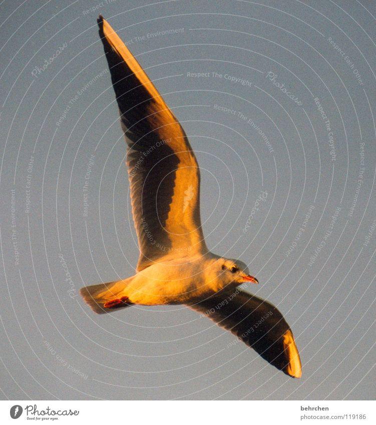 auf auf und davon Möwe Vogel Meer Sonnenuntergang Schnabel Strand Sonnenlicht Physik Himmel Küste Feder Schatten Ostsee Flügel Freiheit fliegen Lampe