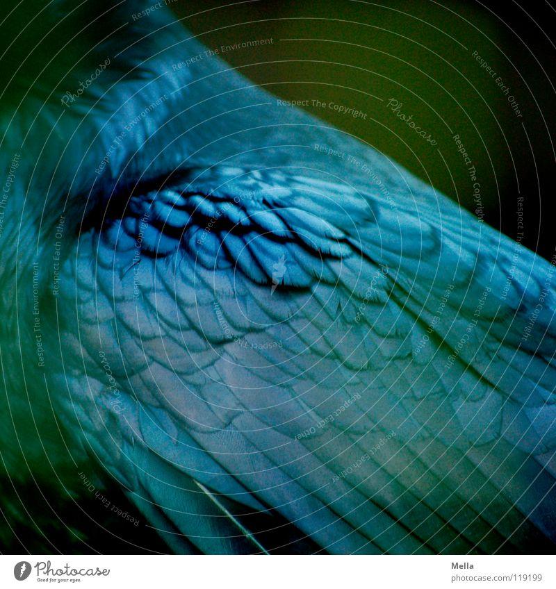 Rabe schön grün blau schwarz Vogel glänzend Feder Flügel edel Stolz Rabenvögel Krähe Kolkrabe Aaskrähe