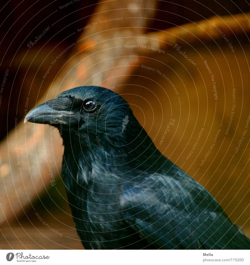Der weise Blick schwarz Auge dunkel Vogel glänzend Feder geheimnisvoll Konzentration mystisch Wissen Schnabel Weisheit klug Tier schimmern Krähe