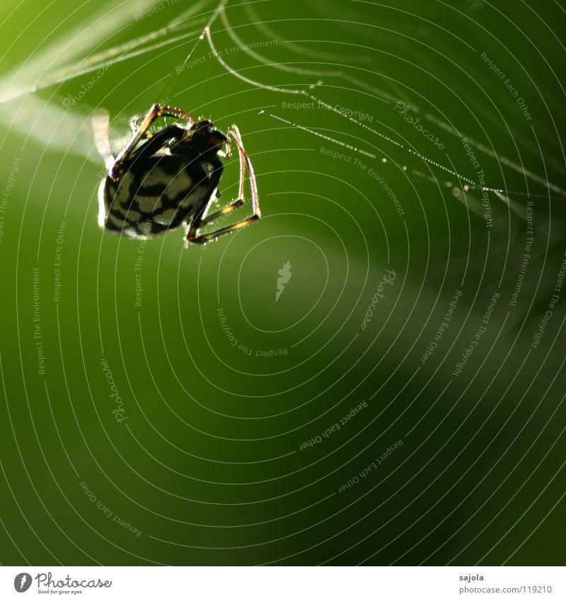 rückenlicht Natur Tier Urwald Spinne 1 Netz grün schwarz weiß Genauigkeit Beine Kopf Singapore Asien Nähgarn Schicksal träumen Farbfoto Außenaufnahme