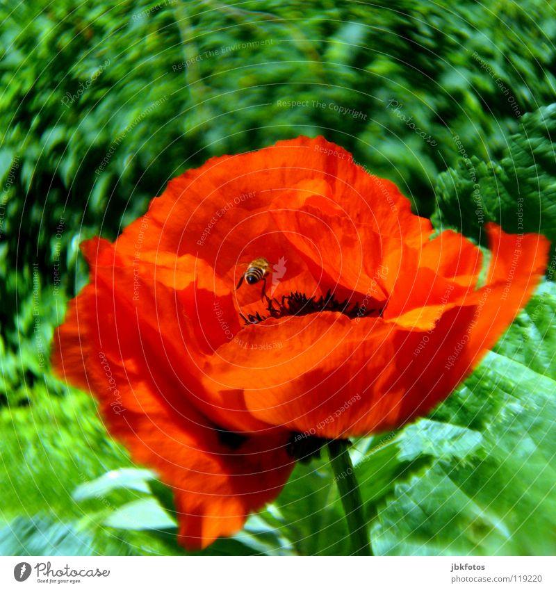 Wo ist die Biene...? schön Blume grün rot Sommer Freude Blüte Frühling Orange orange Insekt Blühend U-Bahn Mohn Kanada