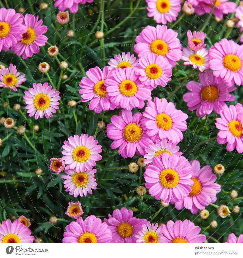 Rosé colored Marguerites Natur Pflanze Frühling Sommer Blume Blatt Blüte Duft rosé colored square format Margerite Blütenknospen rosa Garten Farbenmeer
