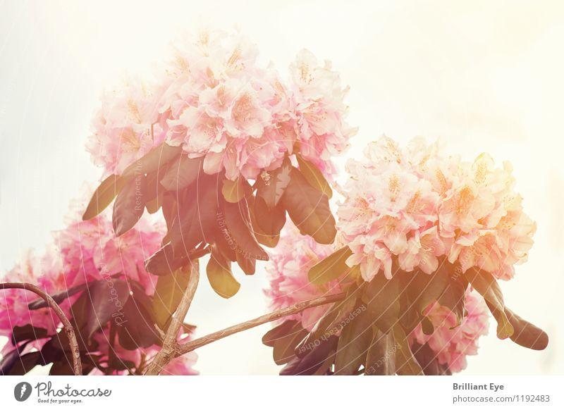 rhododendron im Sonnenlicht Himmel Natur Pflanze schön Blume Umwelt Wärme Frühling Gefühle Stimmung hell rosa glänzend frisch elegant ästhetisch