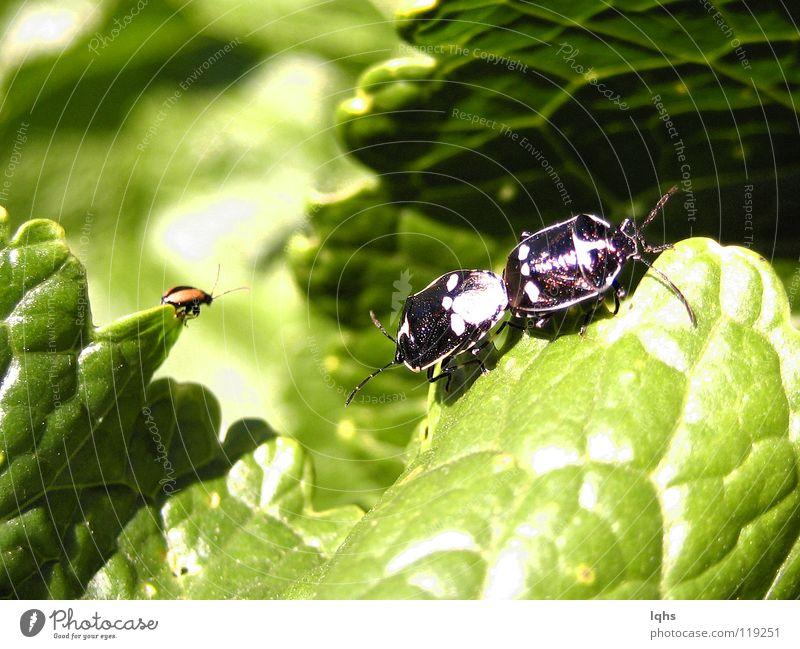 Peep Bugs Käfer Schiffsbug