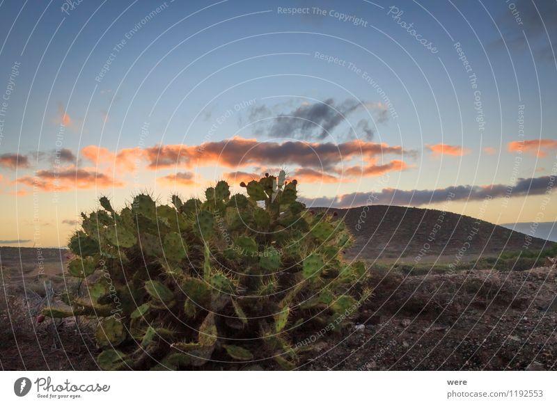 Opuntia Natur Pflanze Sommer Sonne Erholung Einsamkeit ruhig Gefühle Zufriedenheit Wetter frisch Insel Klima Lebensfreude Spanien entdecken