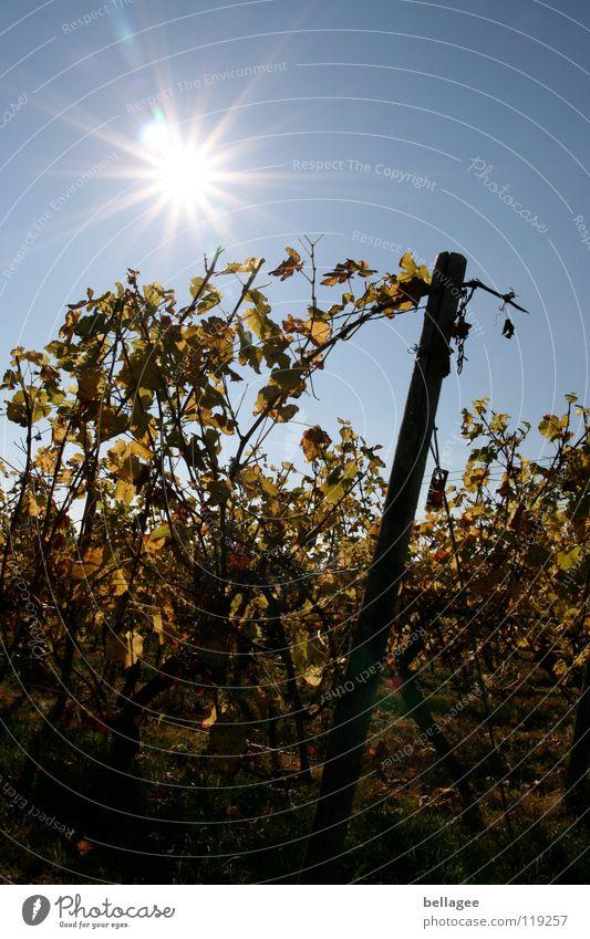 Sonnenlicht im Rebenstock Herbst Wein Weinberg Blatt welk Gegenlicht Berge u. Gebirge Himmel blau Gelbs Neigung