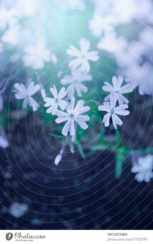 Feine Bodendecker Blumen Natur Pflanze Sommer Blume Blatt Frühling Blüte Herbst Stil Hintergrundbild Garten rosa Park Design Erde Schönes Wetter