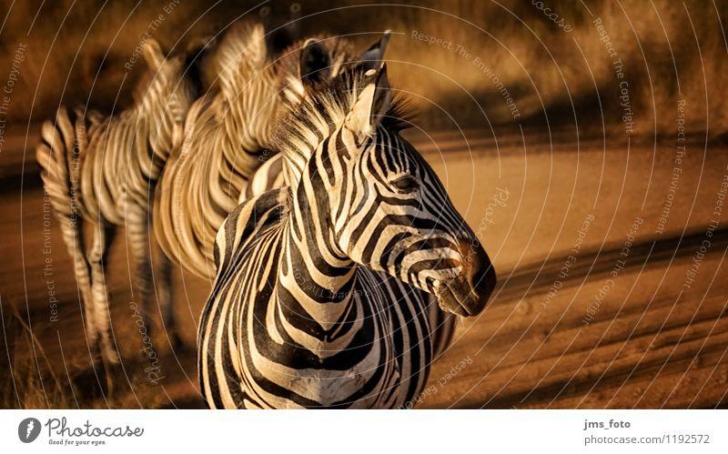 Zebra Polonaise Natur Tier natürlich Wildtier ästhetisch Tiergruppe niedlich Streifen sportlich Südafrika