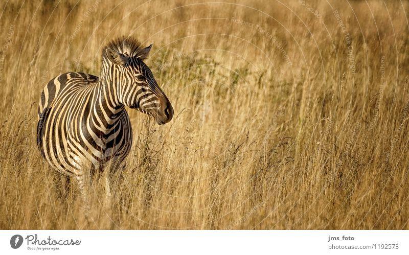 Zebra in der Steppe Natur Tier Wildtier Fell 1 frei schwarz weiß Saulspoort Südafrika Wydhoek Streifen Farbfoto Außenaufnahme Morgen Sonnenlicht