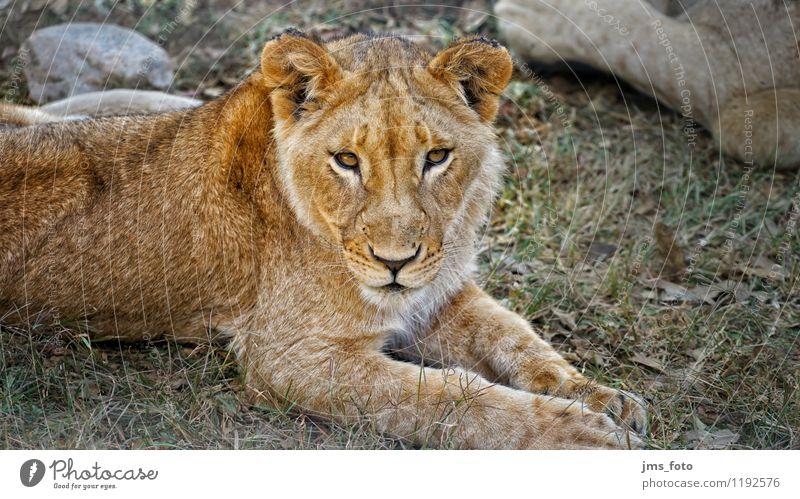 Junger Löwe Natur Tier Zufriedenheit Wildtier ästhetisch niedlich Respekt