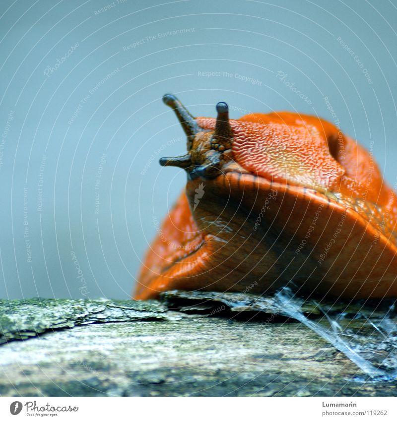 Schleimer Nacktschnecken Landlungenschnecke Wegschnecke Fühler schleimig Sekret krabbeln Ausdauer geduldig langsam auftauchen Holz Neugier Vorsicht Wachsamkeit
