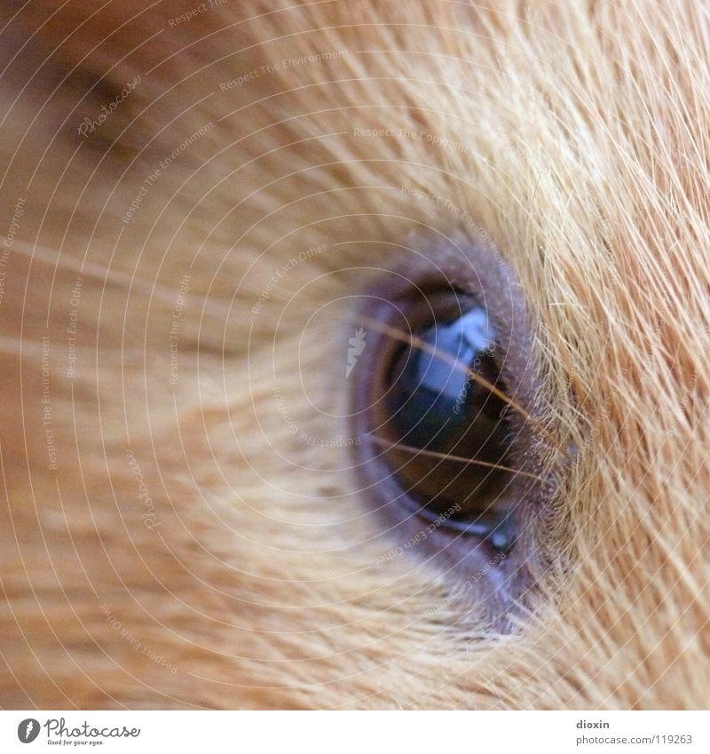 The Eye Of The Tiger Natur Tier Umwelt Auge Haare & Frisuren braun Wildtier Fell Tiergesicht Wissenschaften Zoo Haustier Säugetier kuschlig Nagetiere