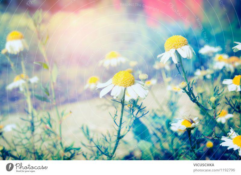 Wilde Kamillen Natur Pflanze Sommer Blume Umwelt gelb Frühling Herbst Wiese Stil Hintergrundbild Garten Stimmung Lifestyle Park Design