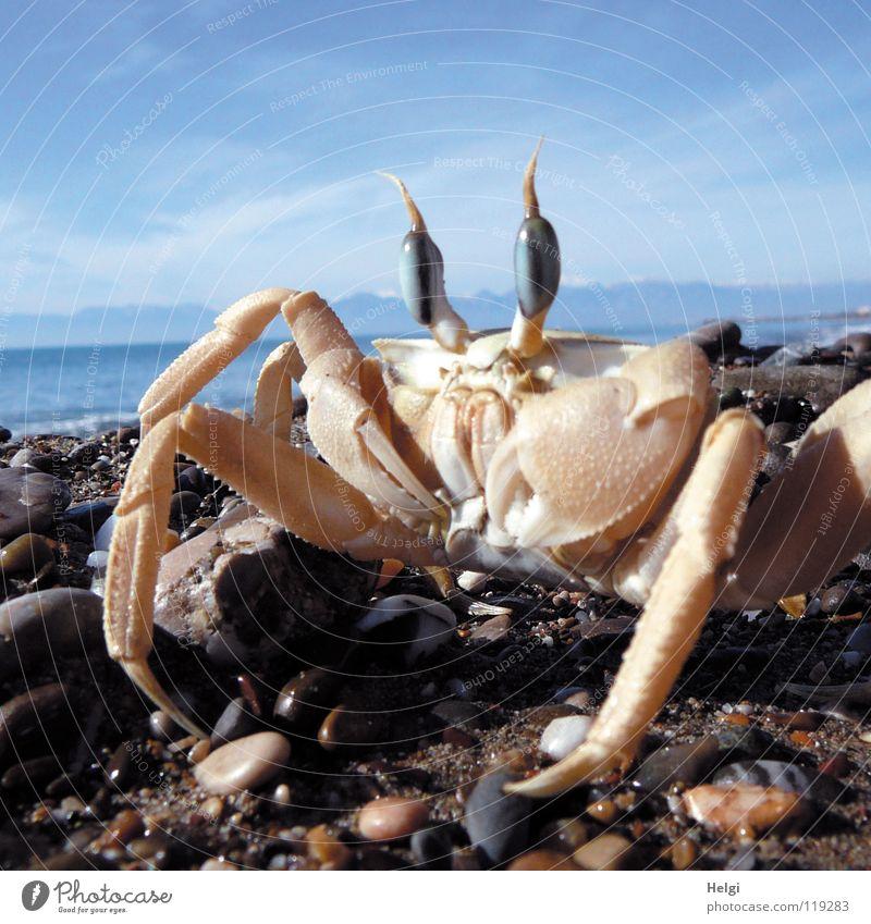 Nahaufnahme einer Krabbe am Strand Farbfoto Außenaufnahme Menschenleer Textfreiraum oben Tag Schatten Sonnenlicht Froschperspektive Tierporträt Blick Freude