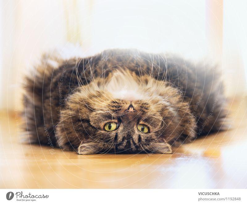 Fluffige katze entspannt sich auf dem Rücken Katze Natur Erholung Tier Haus Auge lustig Stil Stimmung liegen Wohnung niedlich weich Ohr Fell