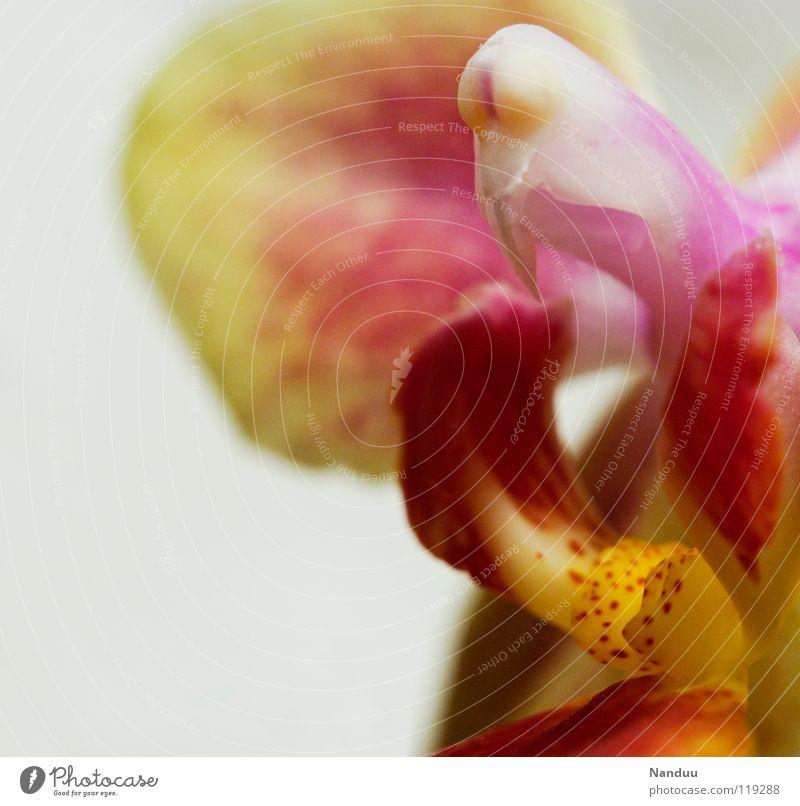 Phallussymbol Fortpflanzung Blume Blüte Orchidee skurril Blümchensex Fertilisation mehrfarbig rosa gelb getupft Klonen Zwitter Blühend Dekoration & Verzierung