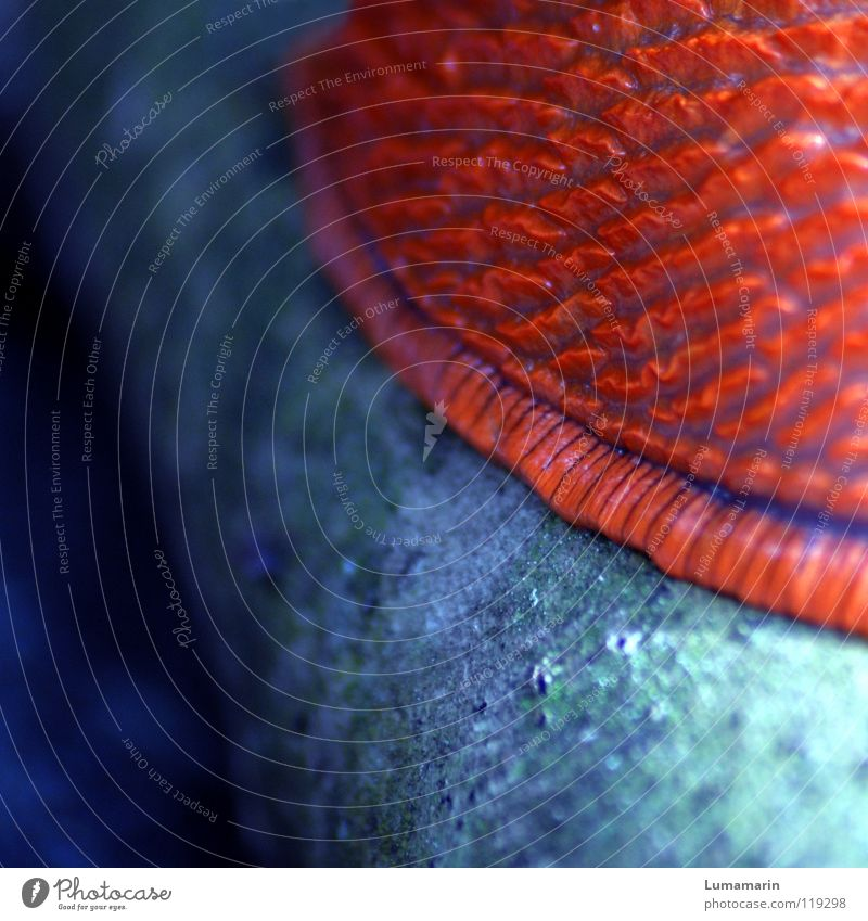 Kriecher blau Tier Farbe Bewegung orange Haut weich Schnecke krabbeln kleben langsam schleimig Schädlinge Weichtier Schleim Nacktschnecken