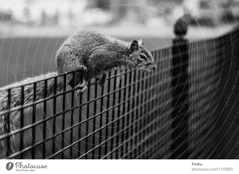 Das hol ich mir! Natur Tier natürlich Park Wildtier sitzen niedlich Zaun Klettern Fell Pfote Eichhörnchen Nagetiere