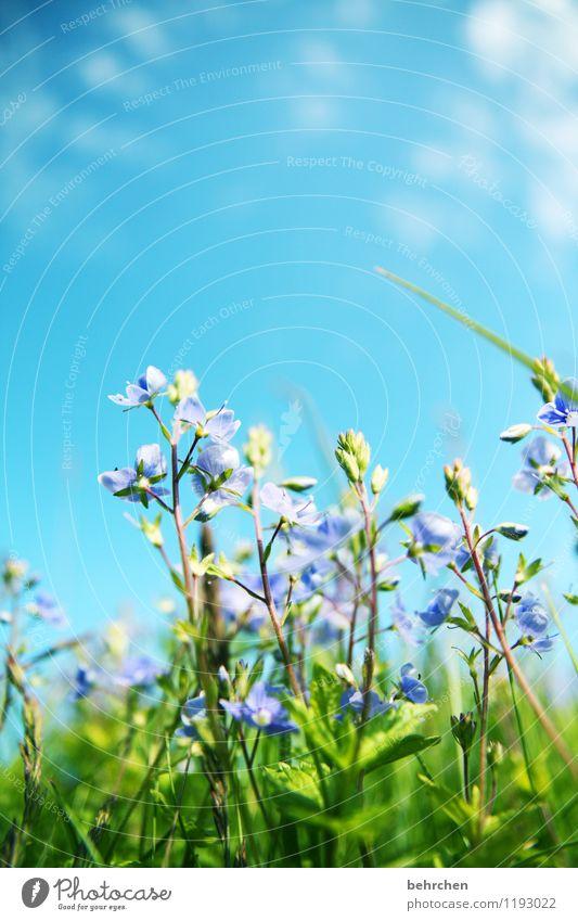 noch ist sommer! Natur Pflanze Himmel Wolken Frühling Sommer Schönes Wetter Wärme Blume Gras Blatt Blüte Wildpflanze Veronica Garten Park Wiese Feld Blühend