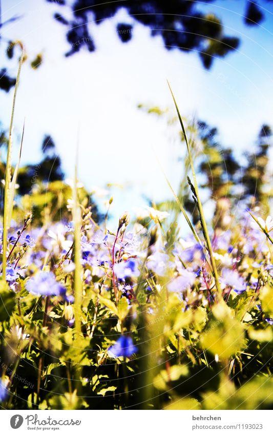 wann ist wieder sommer? Natur Pflanze Himmel Frühling Sommer Schönes Wetter Baum Blume Gras Sträucher Blatt Blüte Wildpflanze Veronica Garten Park Wiese Feld