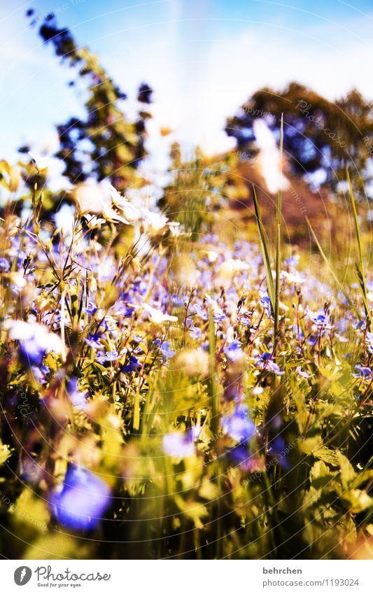 er kommt! Natur Pflanze Himmel Wolken Frühling Sommer Schönes Wetter Baum Blume Gras Sträucher Blatt Blüte Wildpflanze Veronica Garten Park Wiese Feld Blühend