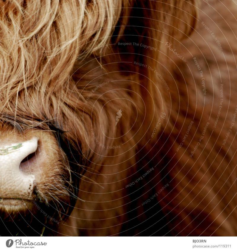 der Bulle Damien Highlands Schottisches Hochlandrind cattle bull hairy animal no pet at all nose red big huge Außenaufnahme