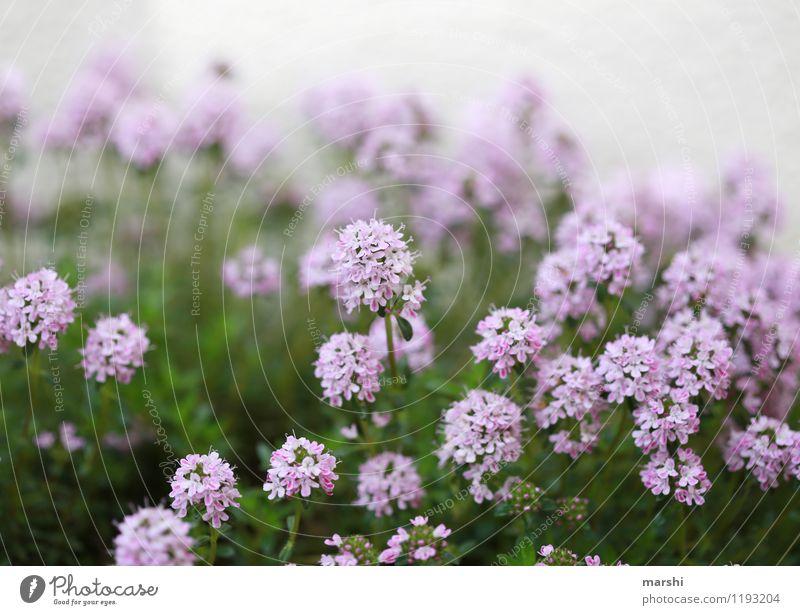 blühender Thymian Natur Pflanze Frühling Sommer Blume Sträucher Blüte Stimmung Kräuter & Gewürze Schwache Tiefenschärfe Blühend Garten Duft Farbfoto
