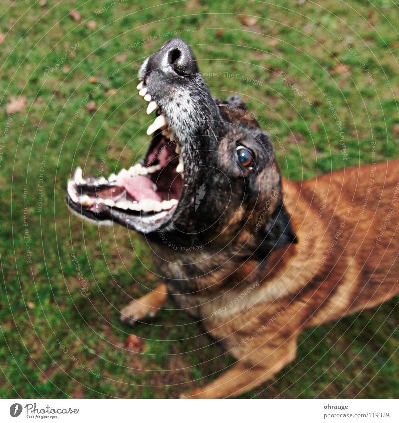 Der Hund grün Tier Wiese braun Angst gefährlich Rasen Gebiss Fell Säugetier Panik Schnauze