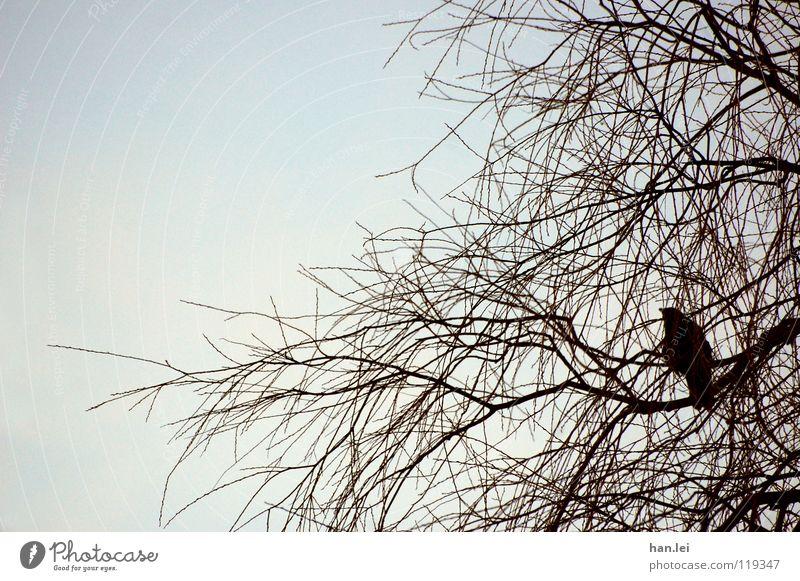 Krähe Baum Vogel beobachten fliegen sitzen dunkel schuldig Desaster Vergangenheit Rabenvögel Märchen böse Betrüger Aasfresser Ast Farbfoto Tag Tierporträt
