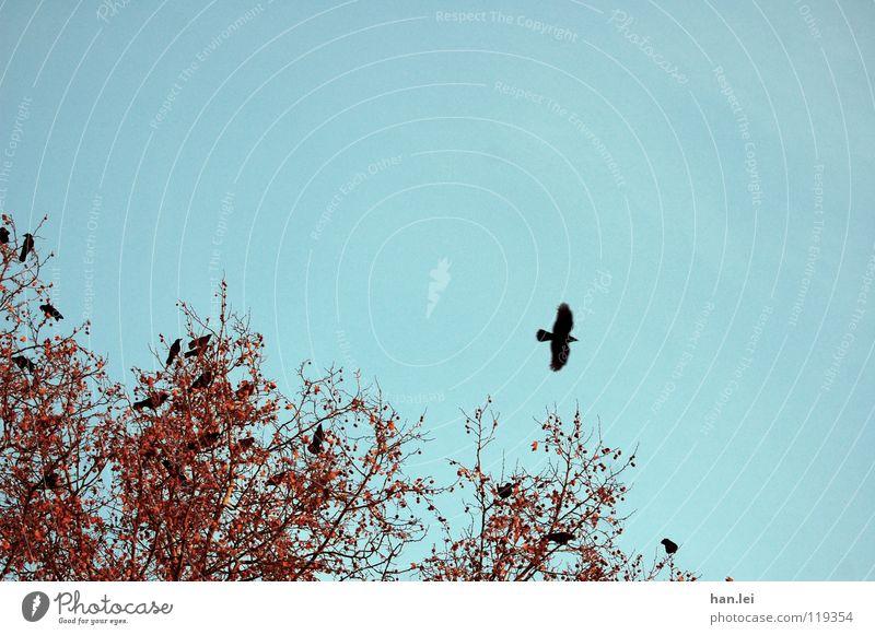 Fliegen Baum Vogel beobachten fliegen sitzen Vergangenheit Krähe Rabenvögel Märchen Ast mehrere Farbfoto Außenaufnahme Textfreiraum oben Tag Tierporträt