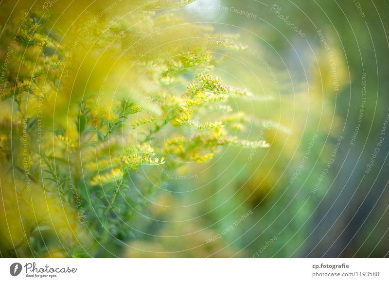 Gelbe Gewächse Natur Pflanze grün Sommer gelb Wärme Frühling Blüte natürlich Schönes Wetter