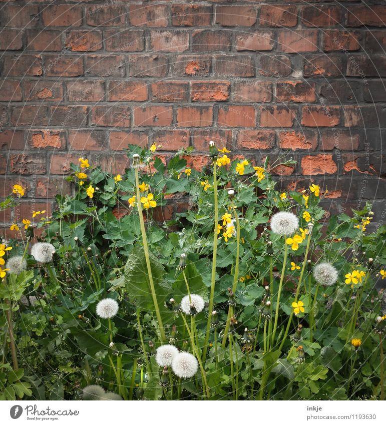 Wildwuchs Pflanze Frühling Sommer Wildpflanze Unkraut Löwenzahn Garten Park Menschenleer Mauer Wand Fassade Backstein Blühend gelb grün Natur Stadt Wachstum