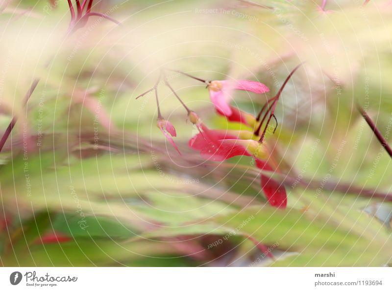 Ahorn Natur Pflanze Frühling Sommer Schönes Wetter Baum Sträucher grün rot Ahornblatt Frucht Garten Außenaufnahme Nahaufnahme Detailaufnahme Makroaufnahme Tag