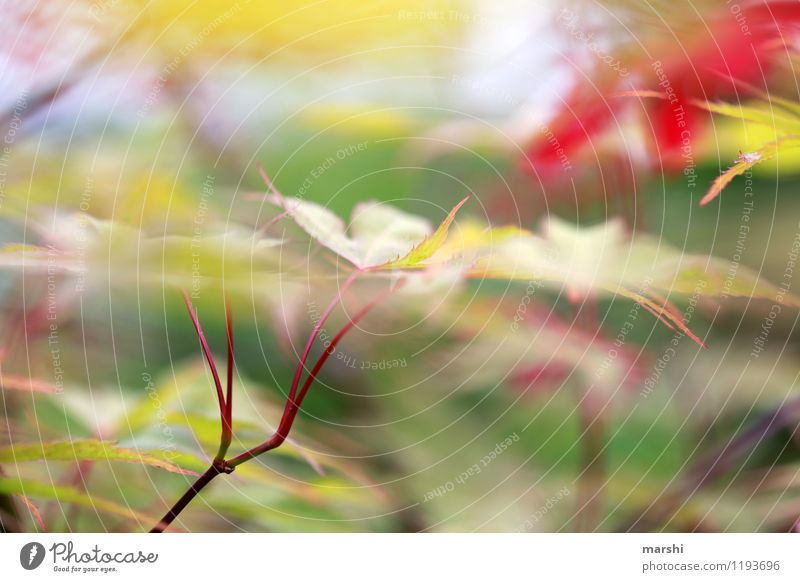 Ahorn Natur Landschaft Pflanze Frühling Sommer Baum Sträucher Blatt Grünpflanze Stimmung rot grün Ahornblatt Garten Farbfoto Außenaufnahme Nahaufnahme