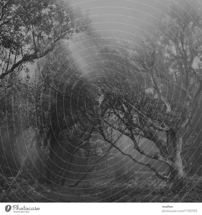 nebulous Natur Landschaft Pflanze Sonnenlicht Wetter Nebel Baum Gras Sträucher Wildpflanze Wald bedrohlich dunkel gruselig schwarz weiß eigenwillig