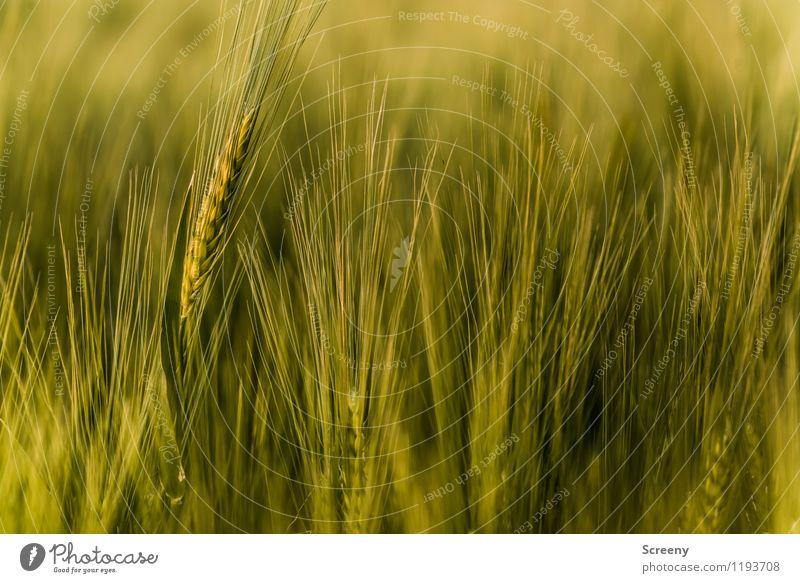 Kornfeld Natur Pflanze Frühling Sommer Nutzpflanze Weizenfeld Feld Wachstum Landwirtschaft Agrarprodukt Farbfoto Außenaufnahme Detailaufnahme Menschenleer Tag