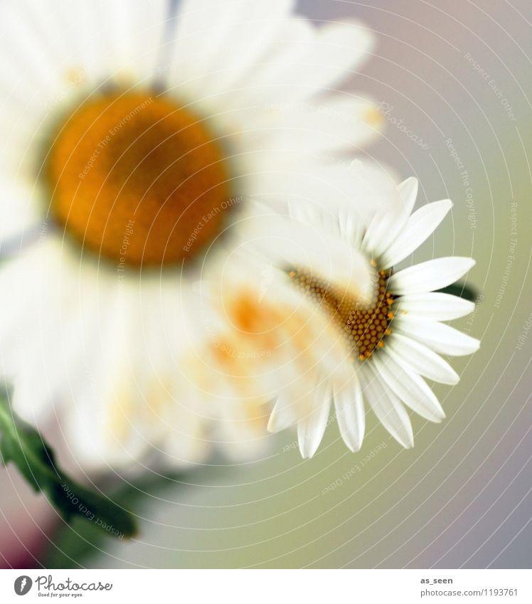 Margeriten Natur Pflanze Farbe Sommer weiß Erholung ruhig Umwelt gelb Leben Blüte Wiese Gesundheit Glück Garten Lifestyle