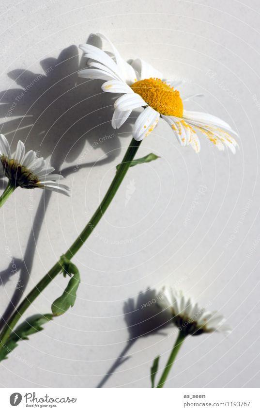 Der Sonne entgegen Natur Pflanze schön grün Sommer weiß Blume gelb Leben Blüte Innenarchitektur Garten hell Dekoration & Verzierung Wachstum Fröhlichkeit
