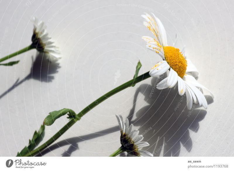 Schattenspiel Gesundheit Leben harmonisch Sommer Dekoration & Verzierung Muttertag Pflanze Blume Margerite Pollen Stengel Blütenblatt berühren Blühend Wachstum