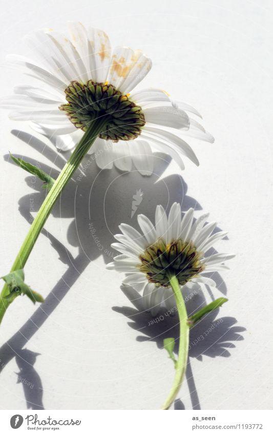 Von hinten schön Gesundheit Wellness Leben harmonisch ruhig Garten Umwelt Natur Pflanze Frühling Sommer Blume Blüte Margerite Blütenblatt Stengel Pollen