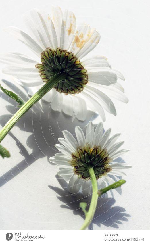 Gepflückt Stil Design Wellness Leben harmonisch ruhig Sommer Innenarchitektur Dekoration & Verzierung Gartenarbeit Natur Pflanze Blume Blüte Stengel Margerite