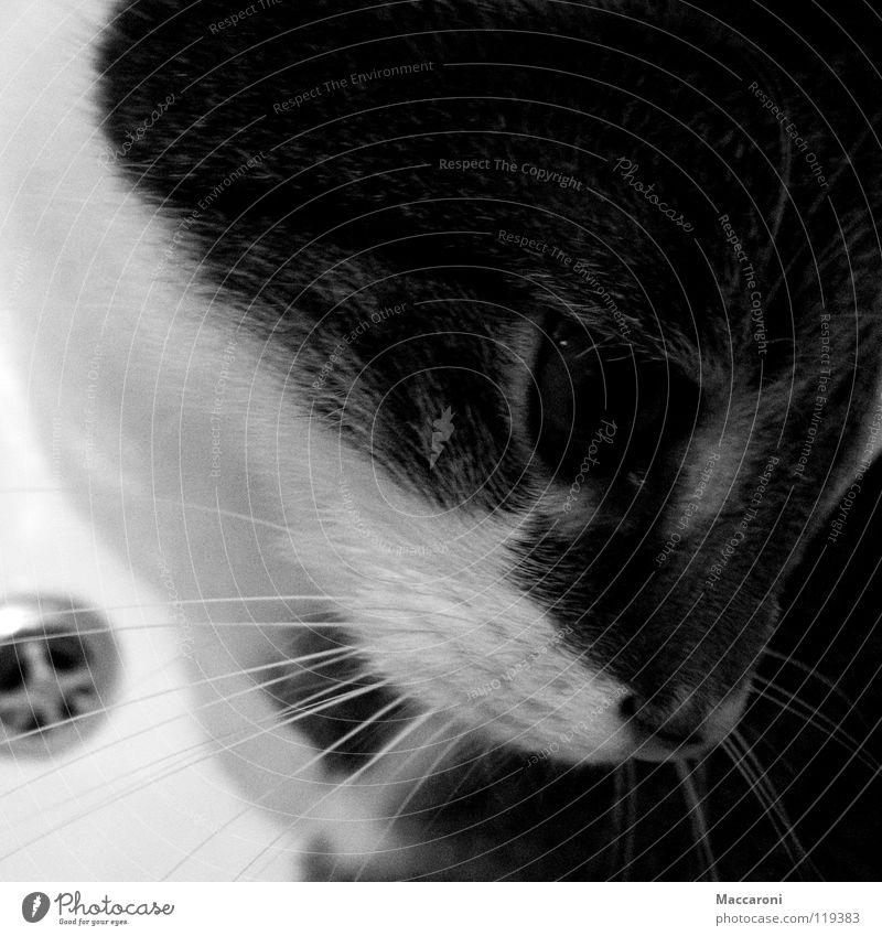 Toni Katze weiß Wasser dunkel Auge Haare & Frisuren klein Schwimmen & Baden Metall Angst Badewanne süß Nase weich Fell