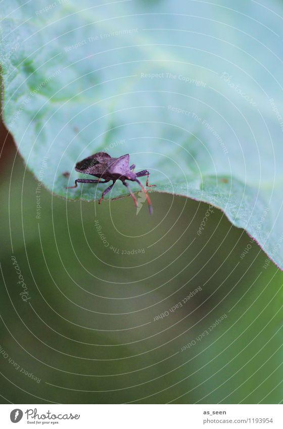 An der Kante Rhabarber Bioprodukte Umwelt Natur Landschaft Pflanze Tier Frühling Sommer Klima Blatt Grünpflanze Nutzpflanze Rhabarberblatt Käfer Wanze