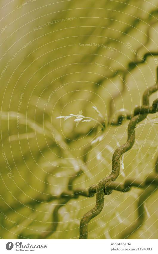 kreuz und quer Umwelt Natur Pflanze Gras Sträucher Grünpflanze Wildpflanze Zaun Metallzaun dünn authentisch einfach klein lang nah natürlich trist trocken wild