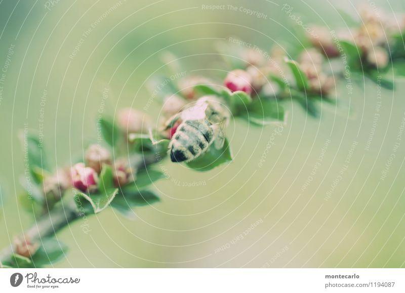 sumsum Umwelt Natur Pflanze Frühling Sträucher Blatt Blüte Grünpflanze Wildpflanze Tier Nutztier Wildtier Biene 1 Duft dünn authentisch einfach Freundlichkeit