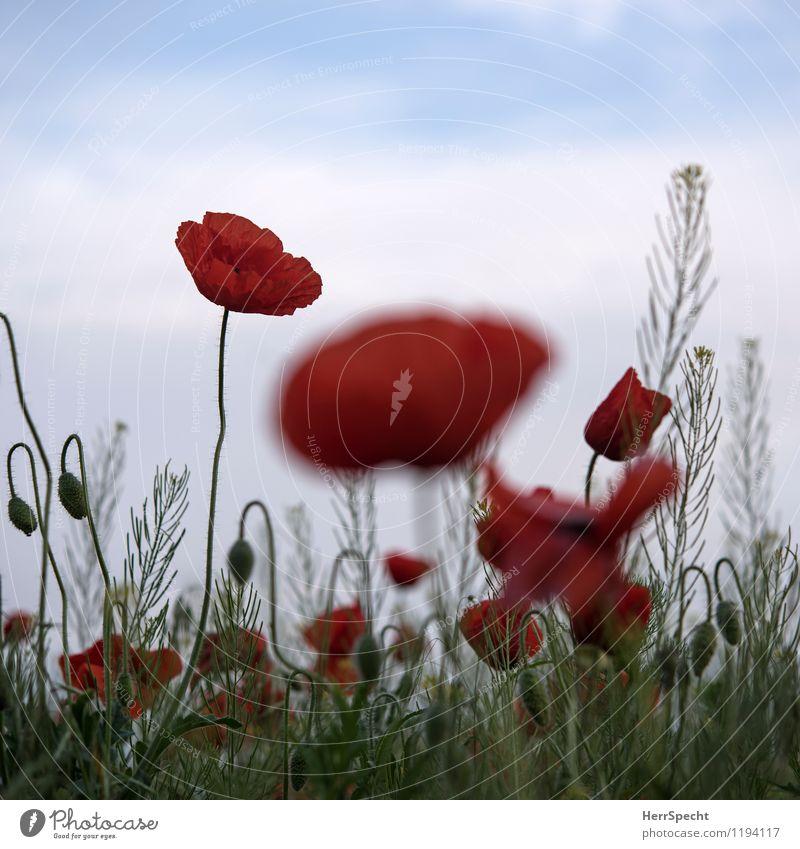 Harmohnisch Umwelt Natur Pflanze Blume frisch saftig rot Feld Landwirtschaft Mohnblüte Klatschmohn Farbfoto Gedeckte Farben Außenaufnahme Textfreiraum oben