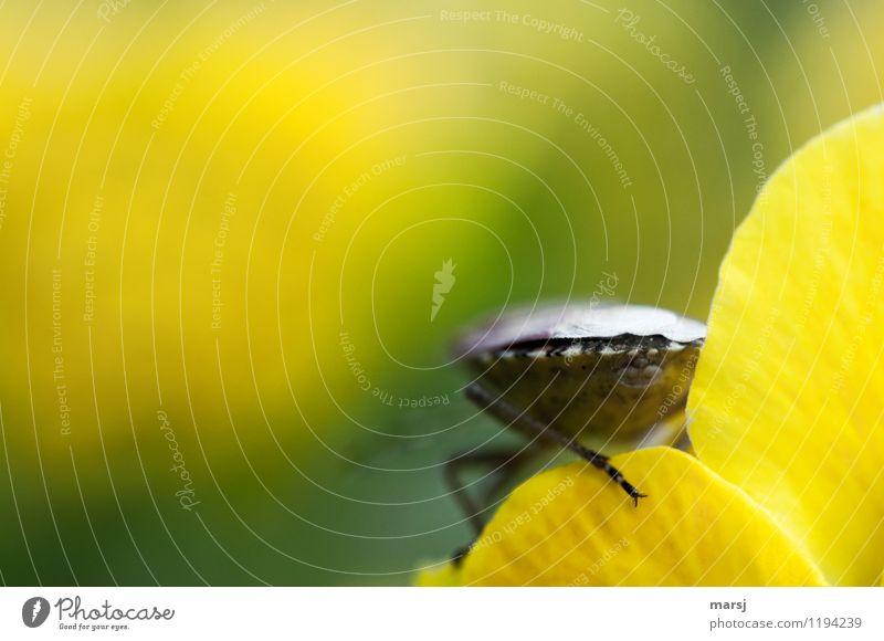 Das geht mir alles irgendwie am A... vorbei Natur Tier Wildtier Schildkäfer Wanze Stinkkäfer Insekt 1 natürlich mehrfarbig gelb Hinterteil Allerwerteste