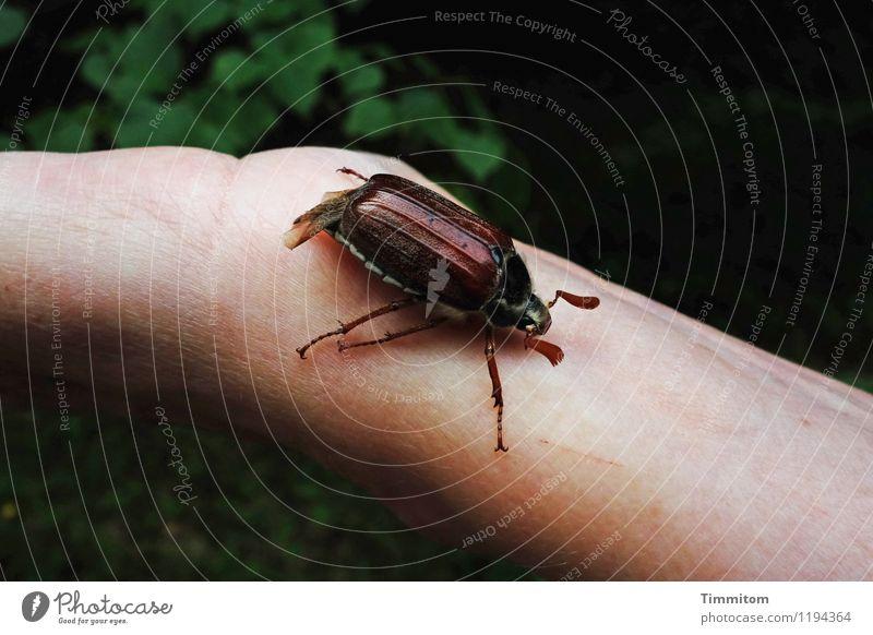 Sumsemann. Umwelt Natur Tier Maikäfer 1 natürlich Gefühle Arme Hand krabbeln Käfer Farbfoto Außenaufnahme Tag Tierporträt